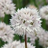 Allium graceful beauty 400x