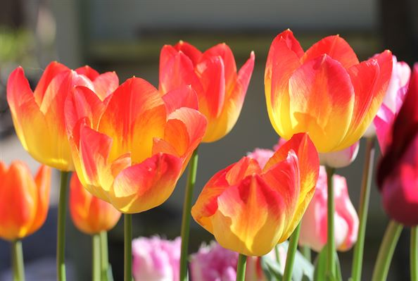 Tulip Bulb Planting Advice How And When To Plant Your