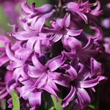 Purple Sensation Hyacinth
